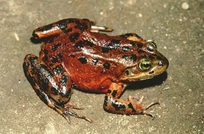 Spotted Frog vs Oregon Farmers